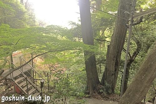 犬山寂光院のシイ(犬山巨樹古木・2本株立)