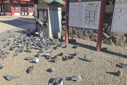 大須観音の鳩(ハト)