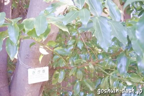 萱津神社 (愛知県あま市)境内の榊(さかき)