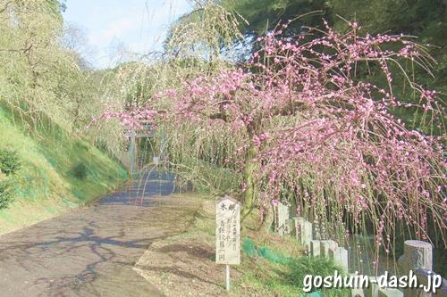 大縣神社(愛知県犬山市)梅園(梅まつり)